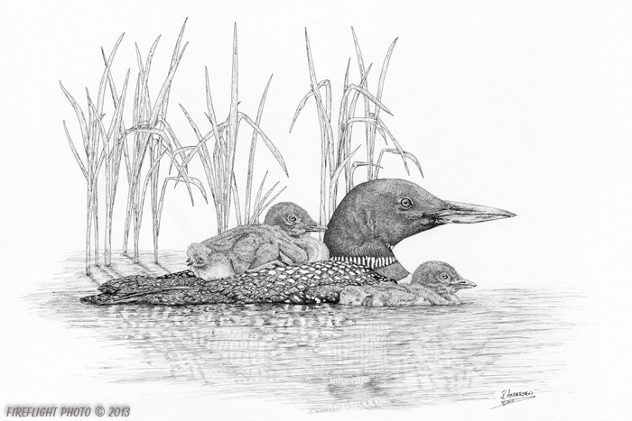 wildlife;Loon;Common Loon;Baby;Pond;Babies;Ink;Ink Drawing;Art;Artwork Drawing;Drawing