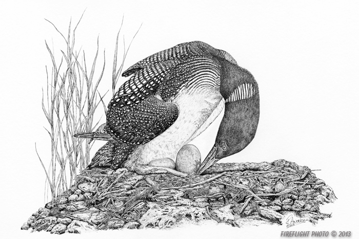 wildlife;Loon;Common Loon;Nest;Eggs;Pond;Ink;Ink Drawing;Art;Artwork Drawing;Drawing