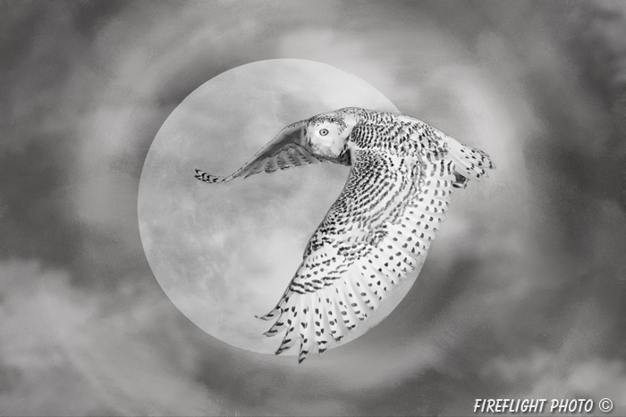 Wildlife;art;artwork;painting;drawing;Corel Painter;bubo scandiacus;owl;Gavia immer;moon
