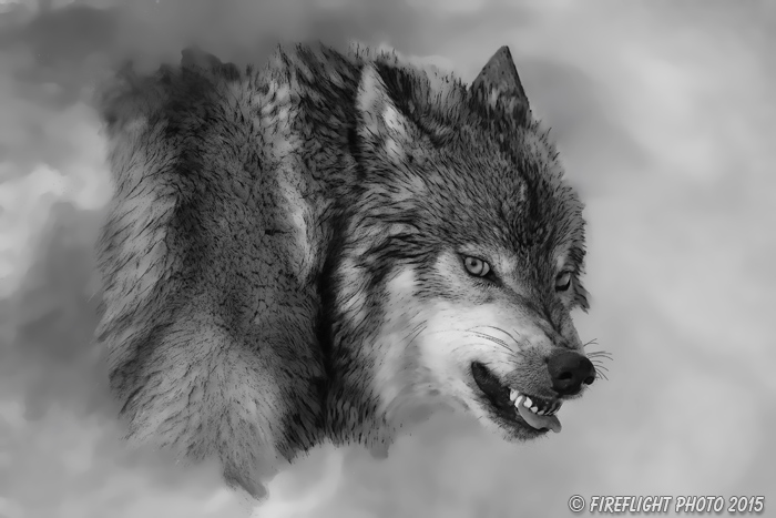 Wildlife;art;artwork;painting;drawing;Corel Painter;Wolf;Wolves;grayscale