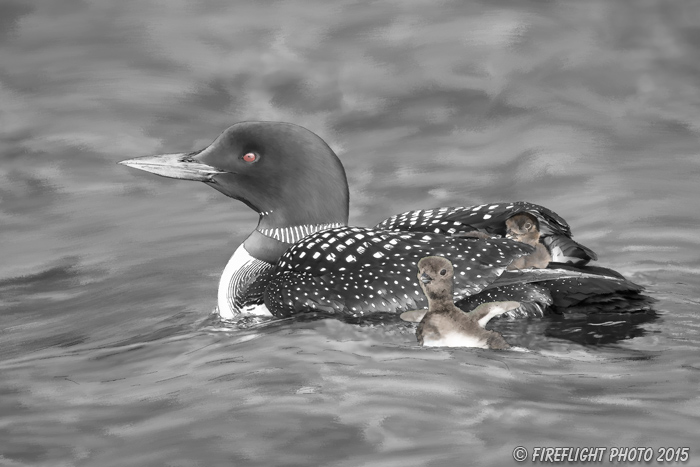 Wildlife;art;artwork;painting;drawing;Corel Painter;Common loon;loon;Gavia immer;Baby