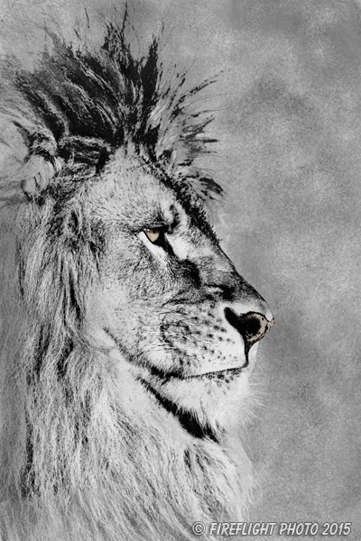 Wildlife;art;artwork;painting;drawing;Corel Painter;Lion;barbary lion;grayscale