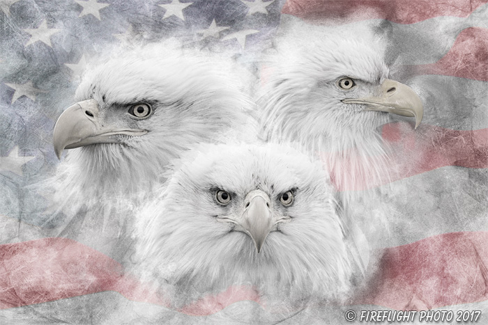 Wildlife;art;artwork;painting;drawing;Corel Painter;Bald Eagle;Eagles;Flag;grayscale
