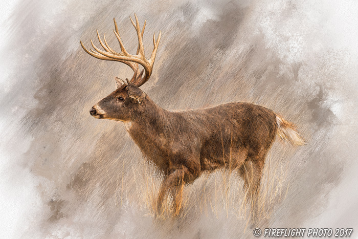 Wildlife;art;artwork;painting;drawing;Corel Painter;Deer;Buck;Whitetail;color;colour