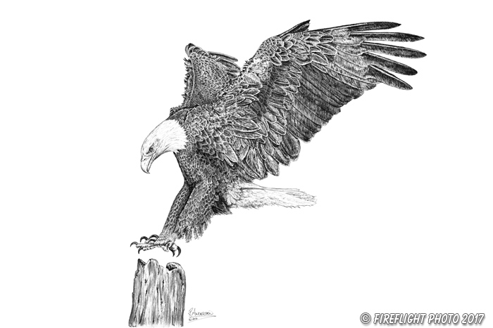 wildlife;Eagle;Bald Eagle;Art;Artwork Drawing;Ink Drawing;pen and ink