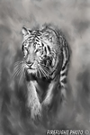 Wildlife;art;artwork;painting;drawing;Tiger;Siberian;Siberian-Tiger;Corel-Painter