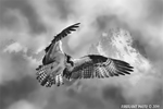 Wildlife;art;artwork;painting;drawing;Osprey;Raptor;Corel-Painter