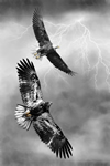 Wildlife;art;artwork;painting;drawing;Bald-Eagle;Raptor;Eagle;Corel-Painter