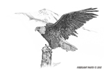 wildlife;Eagle;Bald-Eagle;Art;Artwork-Drawing;Ink-Drawing