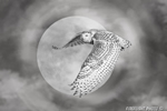 Wildlife;art;artwork;painting;drawing;Corel-Painter;bubo-scandiacus;owl;Gavia-immer;moon