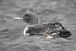 Wildlife;art;artwork;painting;drawing;Corel-Painter;Common-loon;loon;Gavia-immer;Baby