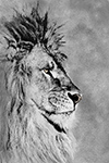 Wildlife;art;artwork;painting;drawing;Corel-Painter;Lion;barbary-lion;grayscale