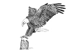 wildlife;Eagle;Bald-Eagle;Art;Artwork-Drawing;Ink-Drawing;pen-and-ink