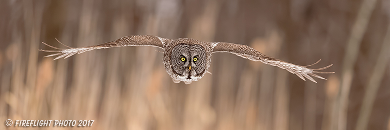 wildlife;raptor;owl;gray;grey;Strix nebulosa;grass;pan;panoramic;Canada;D5;2017