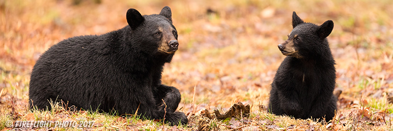 wildlife;bear;bears;black bear;Ursus americanus;North NH;NH;Cub;Panroamic