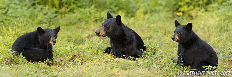 wildlife;bear;bears;black bear;Ursus americanus;Cubs;Panoramic;Northern NH;NH
