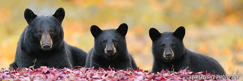 wildlife;bear;bears;black bear;Ursus americanus;Cubs;Panoramic;Fall;Foliage;Northern NH;NH