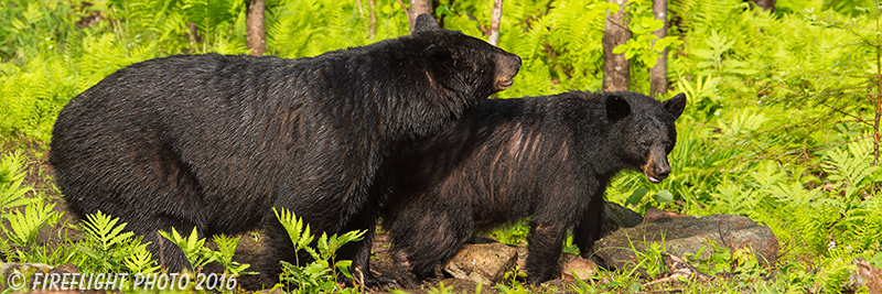 wildlife;bear;bears;black bear;Ursus americanus;Sugar Hill;NH;male;rocks;D4s;800mm