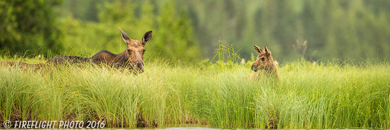 wildlife;Cow Moose;Moose;Alces alces;Lake;Pan;Panoramic;North Maine;ME;D4s;2015