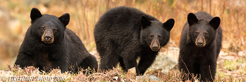 wildlife;bear;bears;black bear;Ursus americanus;Northern NH;NH;Cubs;Pan;Panoramic;D5