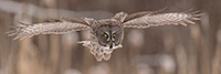 wildlife;raptor;owl;gray;grey;Strix-nebulosa;grass;pan;panoramic;Canada;D5;2017