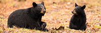 wildlife;bear;bears;black-bear;Ursus-americanus;North-NH;NH;Cub;Panroamic