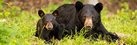 wildlife;bear;bears;black-bear;Ursus-americanus;Sugar-Hill;NH;Cub;grass;D4s
