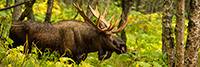 wildlife;Bull-Moose;Moose;Alces-alces;Woods;Trees;Alaska;AK;Pan;Panoramic