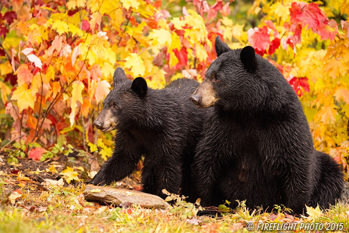 wildlife;bear;bears;black bear;Ursus americanus;Northern NH;NH;female;foliage;D4s
