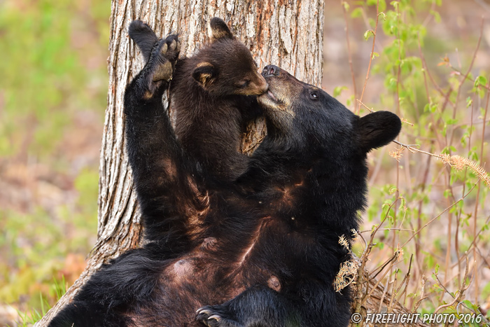 wildlife;bear;bears;black bear;Ursus americanus;Northern NH;NH;Kissing;Cub;Nursing;D4s