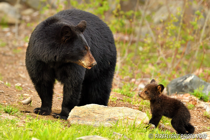 wildlife;bear;bears;black bear;Ursus americanus;Northern NH;NH;Cub;standing;field;D5