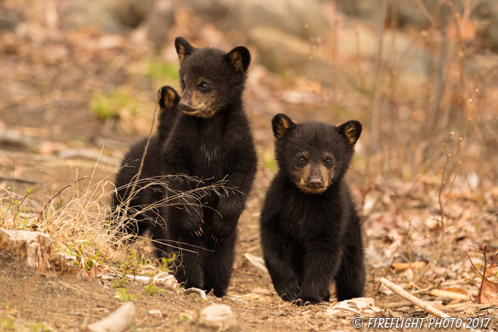 wildlife;bear;bears;black bear;Ursus americanus;Northern NH;NH;Cubs;D5