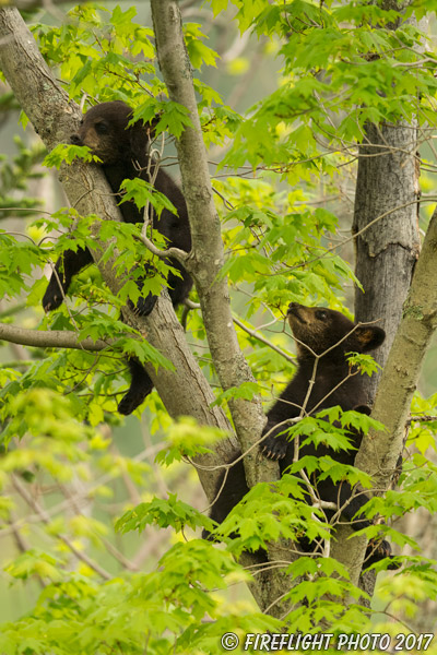 wildlife;bear;bears;black bear;Ursus americanus;Tree;Northern NH;NH;Cubs;D5