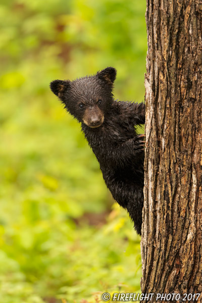wildlife;bear;bears;black bear;Ursus americanus;Wet;Tree;Northern NH;NH;Cub;D5