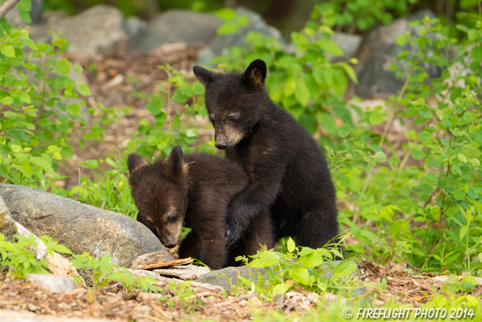 wildlife;bear;bears;black bear;Ursus americanus;Sugar Hill;NH;Cubs;D4s