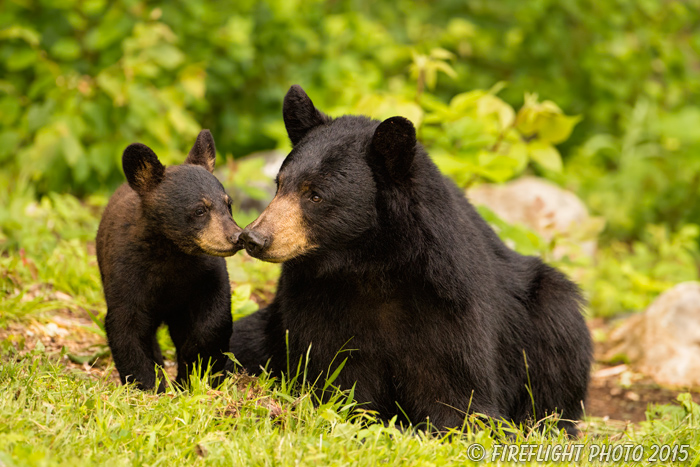wildlife;bear;bears;black bear;Ursus americanus;Sugar Hill;NH;Cub;kiss;D4s