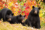 wildlife;bear;bears;black-bear;Ursus-americanus;Northern-NH;NH;female;cubs;foliage