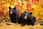 wildlife;bear;bears;black-bear;Ursus-americanus;Northern-NH;NH;female;foliage;D4s