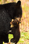 wildlife;bear;bears;black-bear;Ursus-americanus;Northern-NH;NH;Cub;grass;picking-up;carrying;D5