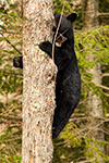 wildlife;bear;bears;black-bear;Ursus-americanus;Northern-NH;NH;Cub;tiny;tree;D5