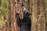 wildlife;bear;bears;black-bear;Ursus-americanus;Northern-NH;NH;Cub;kiss;greeting;D5
