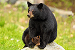 wildlife;bear;bears;black-bear;Ursus-americanus;Northern-NH;NH;Cub;rock;sitting;D5