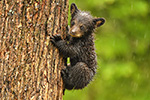 wildlife;bear;bears;black-bear;Ursus-americanus;Northern-NH;NH;Cub;tiny;tree;wet;D5