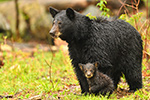 wildlife;bear;bears;black-bear;Ursus-americanus;Northern-NH;NH;Cub;tiny;wet;rain;D5