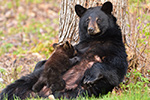 wildlife;bear;bears;black-bear;Ursus-americanus;Northern-NH;NH;Cub;Nursing;D4s