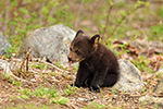 wildlife;bear;bears;black-bear;Ursus-americanus;Northern-NH;NH;Cub;tiny;rocks;D5