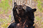 wildlife;bear;bears;black-bear;Ursus-americanus;Northern-NH;NH;Kissing;Cub;Nursing;D4s