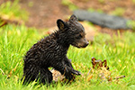 wildlife;bear;bears;black-bear;Ursus-americanus;Northern-NH;NH;Cub;Rain;Grass;D5