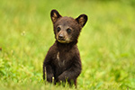 wildlife;bear;bears;black-bear;Ursus-americanus;Northern-NH;NH;Cub;tiny;grass;standing