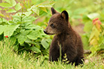 wildlife;bear;bears;black-bear;Ursus-americanus;Northern-NH;NH;Cub;tiny;grass;D5